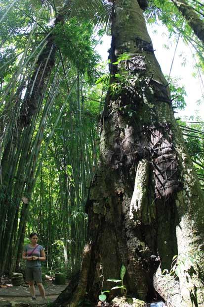 Sterben Babys, werden sie in diesem Baum bestattet.