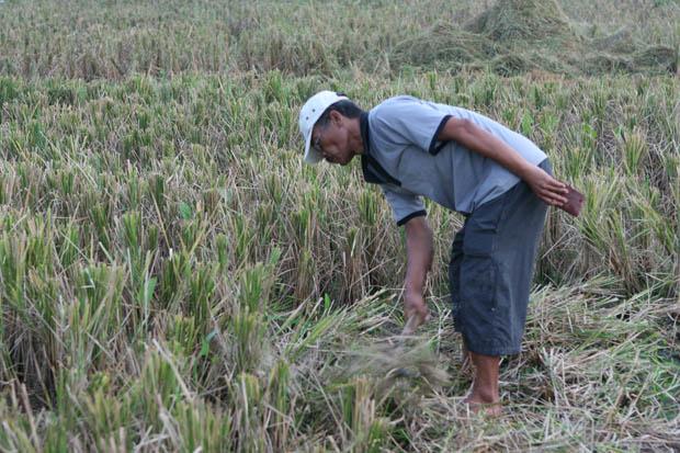 Wir sahen Reisbauern bei der Ernte.