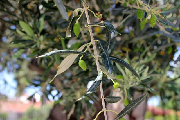 Immer wieder finden sich Olivenbäume in den schmalen Gassen