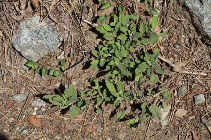 Zahlreiche Pflanzen, wie dieser wilde Salbei, wachsen entlang des Weges zu den Caledonian Falls im Troodos auf Zypern