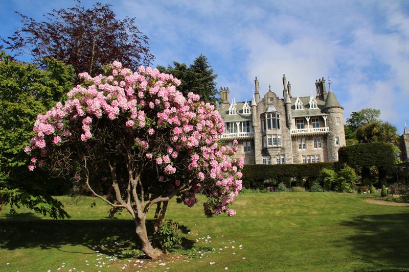 Prachtvoller Rhododendron vor dem Chateau Rhianfa in Wales