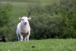 Schaf in Wales, in diesem Fall mit einem Lamm