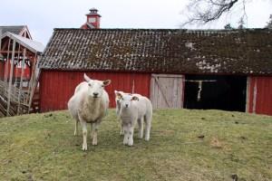Schafe am Goldenen Umweg in Norwegen mit dem Berg Gård