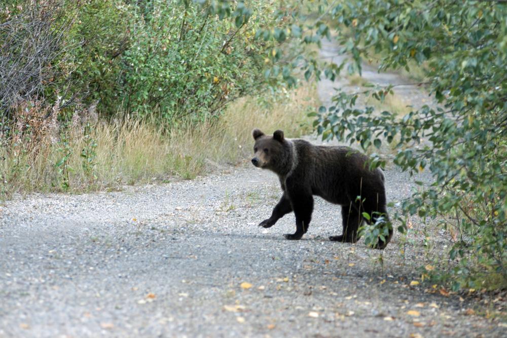Kurz vor der Goldgräberstadt Dawson City stieß ich auf dem Dempster Highway auf diesen niedlichen Grizzly