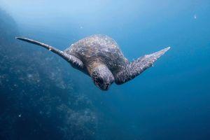 Protección de los océanos - imagen ilustrativa tortuga bajo el agua - Photo by Dustin Haney on Unsplash