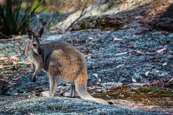 Swamp Wallaby hanging around on the rocks around the campsite
