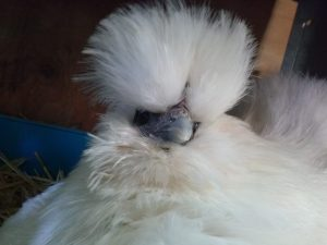Buffy's Wish Silkie Chicken