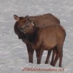 Cow Elk and Calf