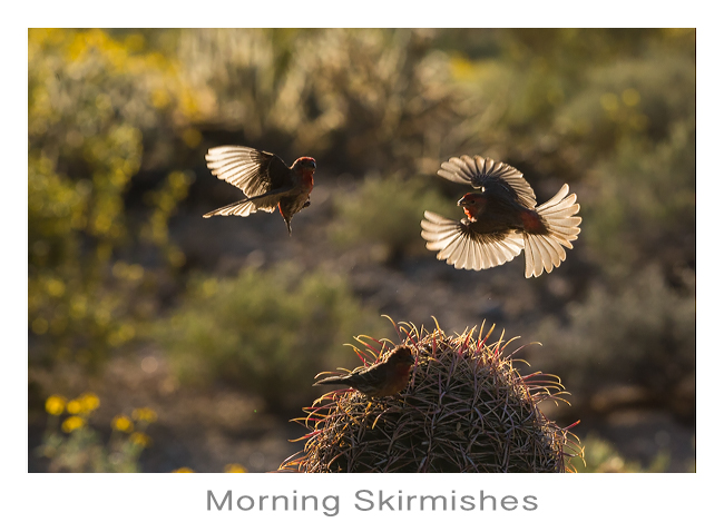 House Finches in Flight
