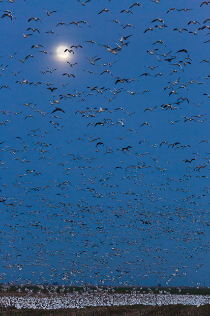 Migratory Geese Flying at Dusk
