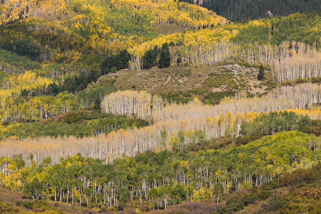 Aspen groves on the Uncompaghre mountains.