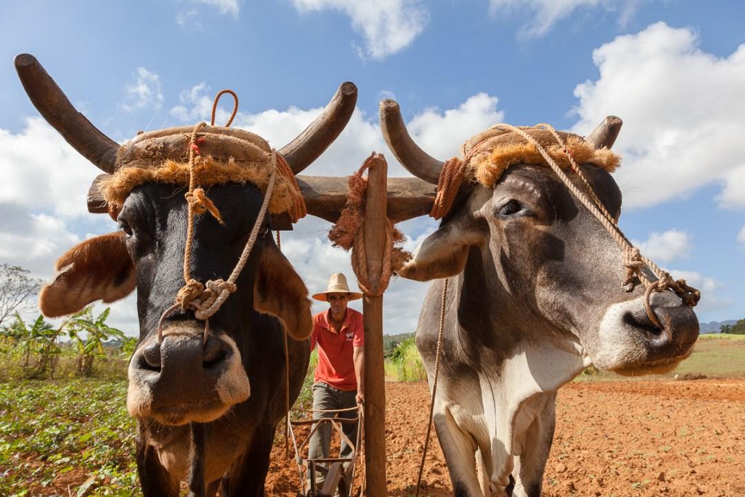 Man plowing field with Brahma cows, Viñales, Cuba.