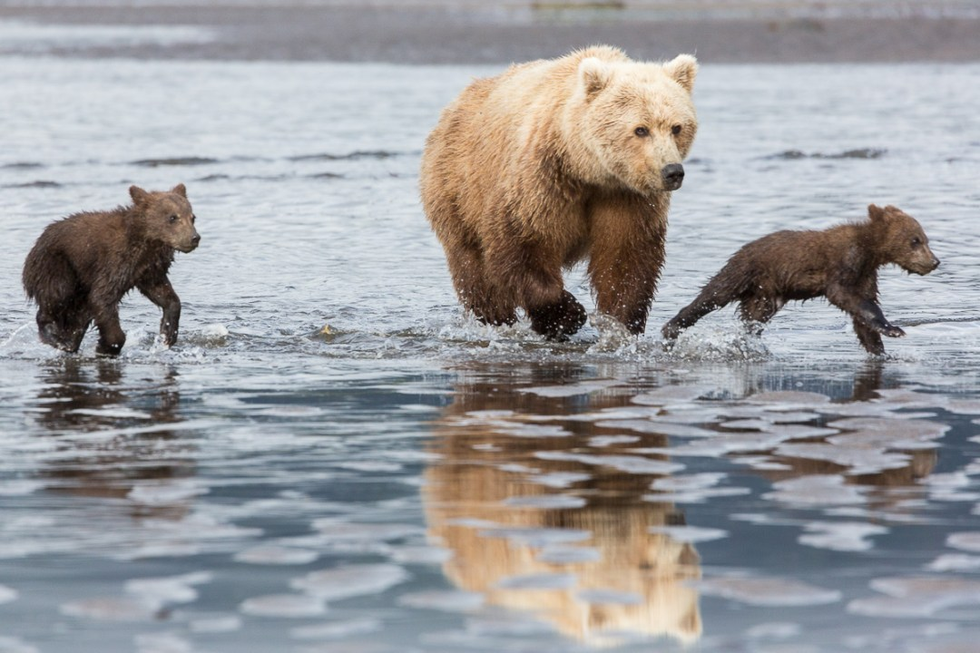 Bear with cubs running