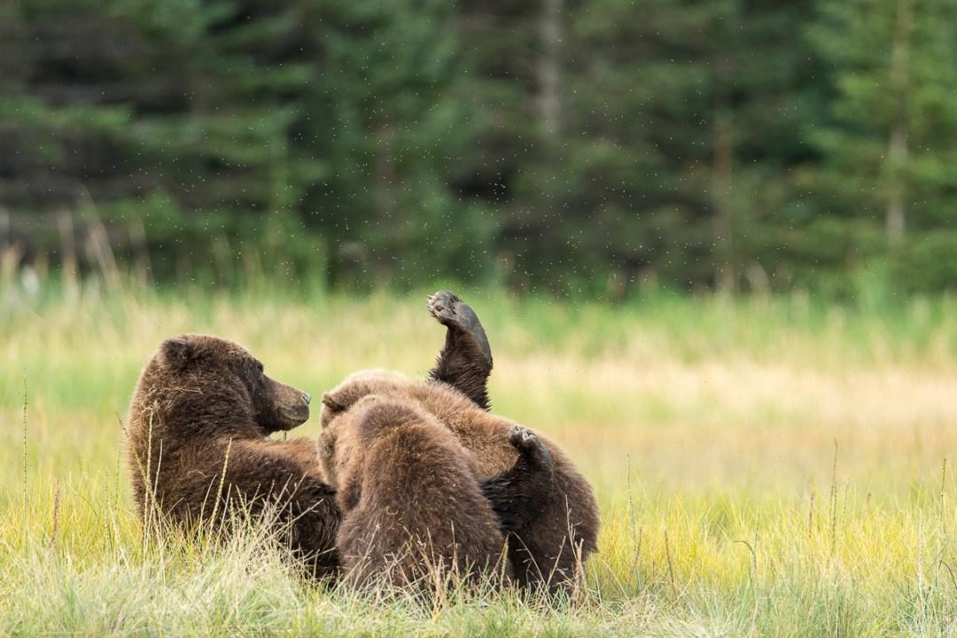 Brown Bear (ursus arctos) nursing cubs, Lake Clark National Park, Alaska.