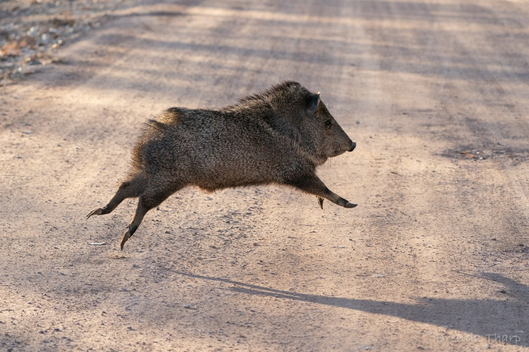 Javelina Running