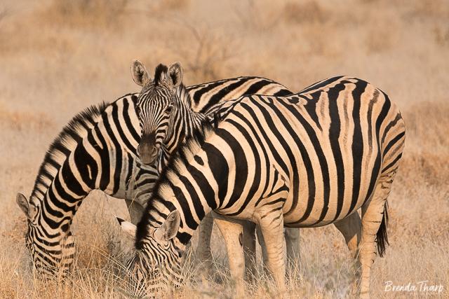Zebras grazing, Namibia