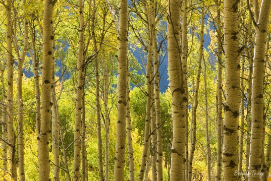 Glowing aspen grove in autumn.