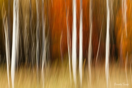 Blurred impression of birch trees in Autumn.