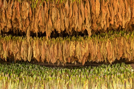 Rows of Tobacco Leaves, Viñales.