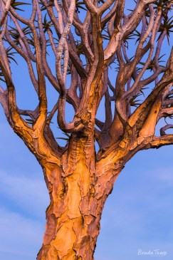 Sunset light on a quiver tree.