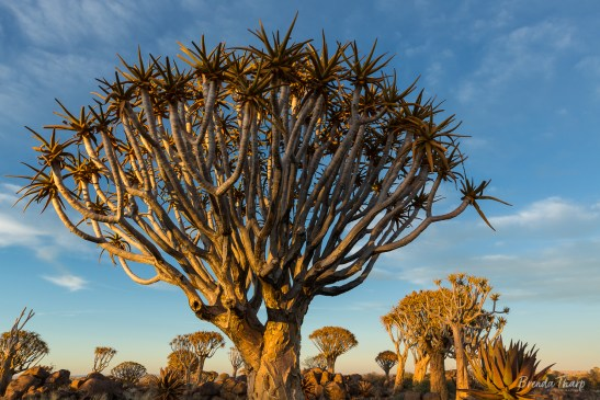 Forest of Quiver Trees, Namibia.