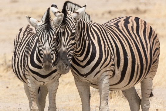 A mother zebra with her offspring