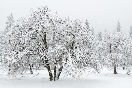 Snow Falling on Oaks, Yosemite.