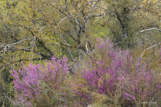 Redbud blooms amidst emerging leaves in forest.