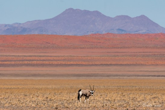 Oryx standing in parched desert.