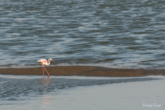Lesser Flamingos walking in water.