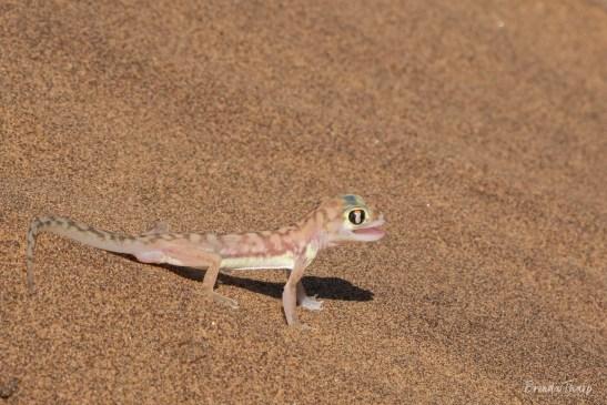 Palmetto Gecko on Sand, Namibia.