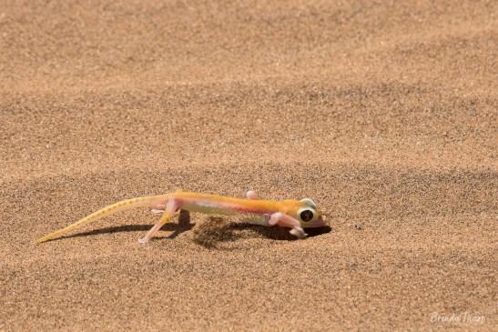 Palmetto Gecko on sand dune, Namibia.