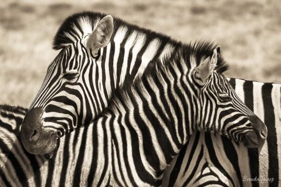 Necking Zebras.
