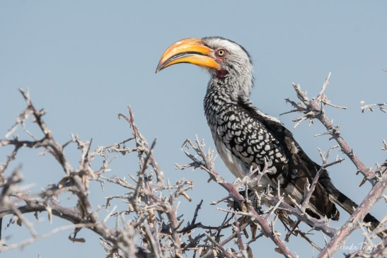 Southern Yellow-billed Hornbill, Namibia.