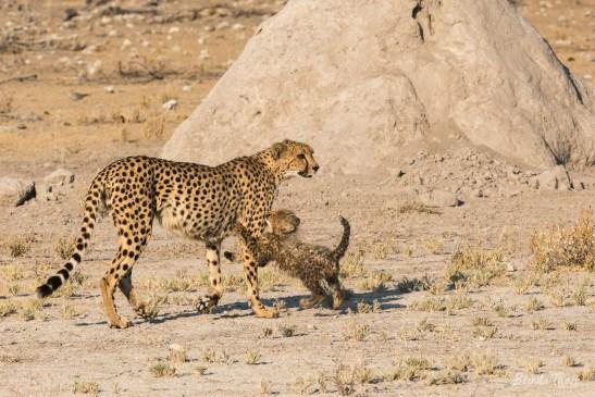 Cheetah mother and kitten, Namibia.
