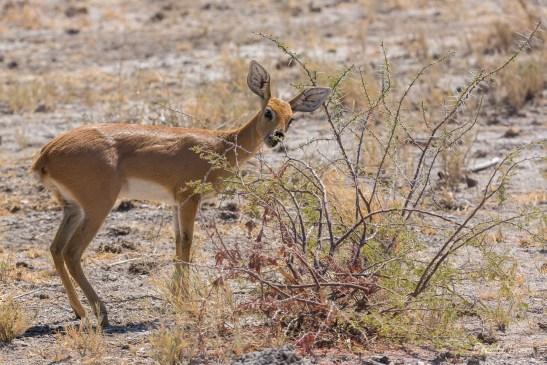 Steenbok grazing on shrub, Namibia.