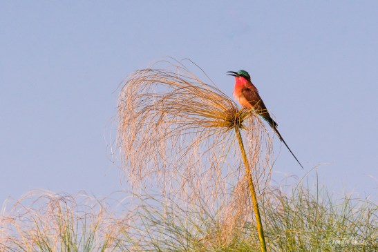Southern Carmine Bee-eater, Namibia.