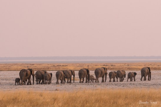 Elephants walking in a line, Namibia, Africa.