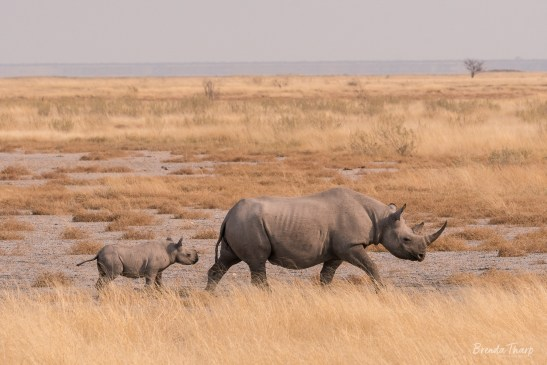 Mother and Calf Black Rhinoceros, Namibia.
