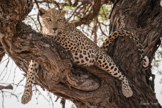 Leopard resting in tree, Namibia.