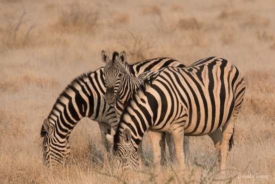 Zebra family, Namibia.