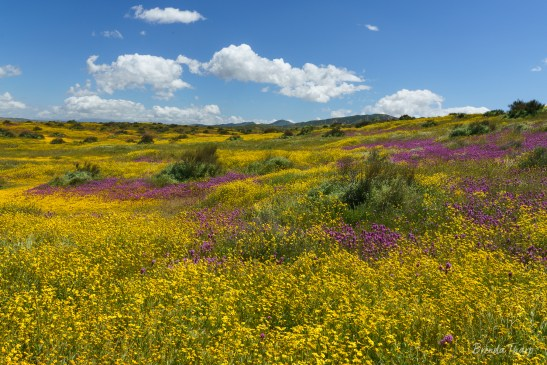 Wildflowers, Carrizo Plain, California
