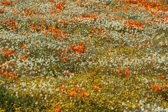 Field of desert wildflowers, California.