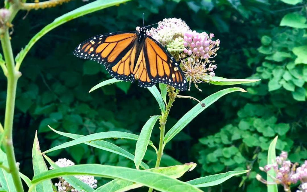 The monarch butterfly's migration is a wonder of nature