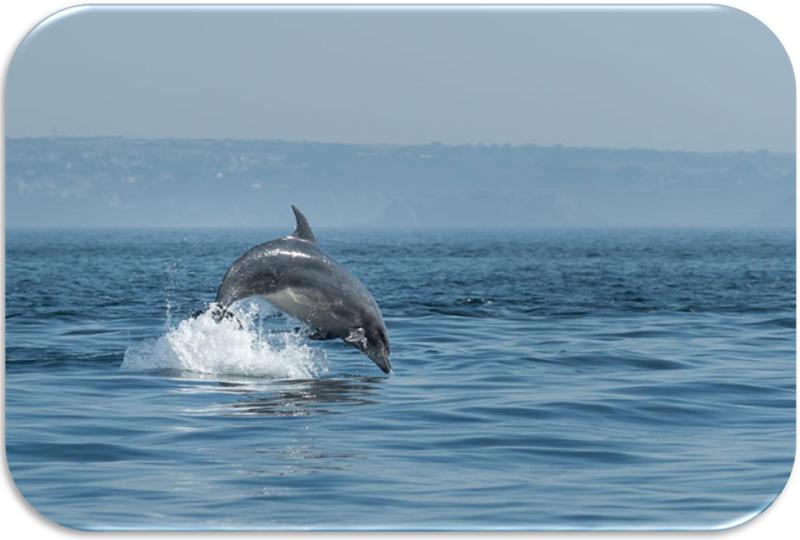 Dauphins en Bretagne