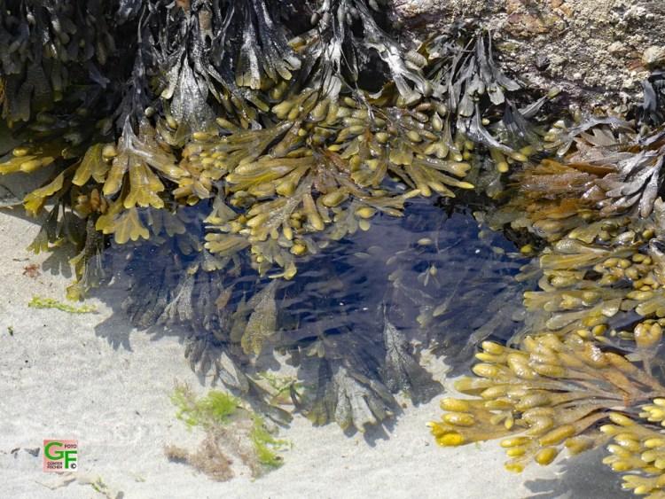 Algen am Strand von Penhors