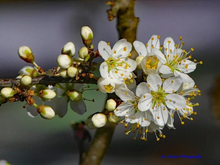Weißdorn-Blüte