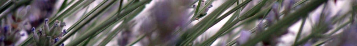 cropped-7-lavanda.jpg