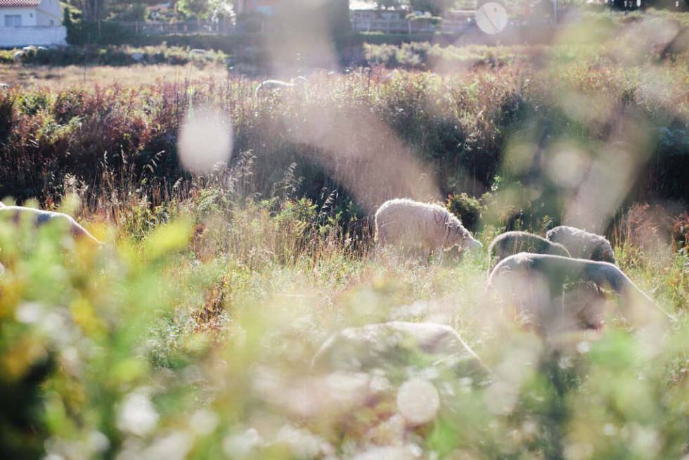 Sheep grazing in a sunlit field in Spain.