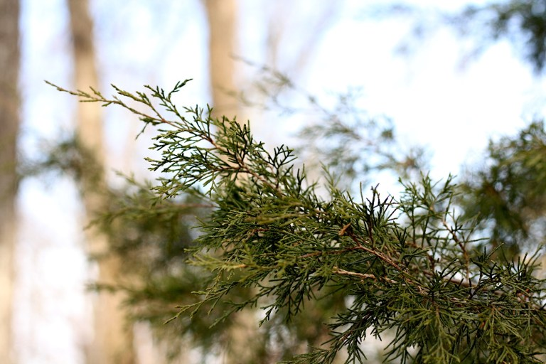 Branches of eastern red cedar good for brewing beer